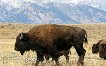 PHOTO: Bison are among the mascot animals featured in a report from the National Wildlife Federation that outlines how climate change is affected mascot animals in real life. Photo credit: National Park Service.