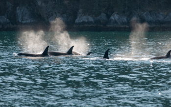 PHOTO: A bill that would have made it illegal to use a wild-caught or captive-bred orca for entertainment purposes has stalled in the Assembly. The earliest it can be up for discussion again is in 2015. Photo credit: iStockphoto.com