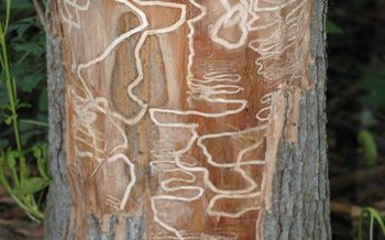 PHOTO: This photo shows the kind of damage the emerald ash borer does when it gets into a tree. The Wisconsin Agriculture Department urges people not to transport firewood with the slogan Buy It Where You Burn It. Photo courtesy Wisconsin Department of Agriculture.