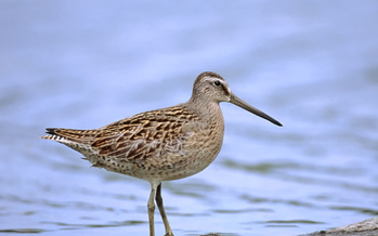 IMAGE: The short-billed dowitcher is one of millions of birds flying over California en route to Canada that are facing new threats to what some call