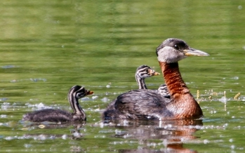 PHOTO: The red-necked grebe has more than 80 percent of its breeding population in Canada's boreal forest, a massive area that bird conservationists say is threatened by development. Photo credit: Wikipedia.