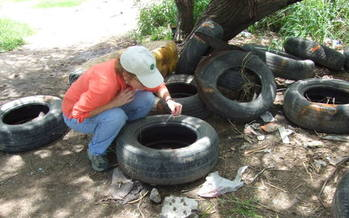 Photo: Mosquito larvae live in water puddled in tires, which Hayden is seen here sampling. Photo courtesy Mary Hayden