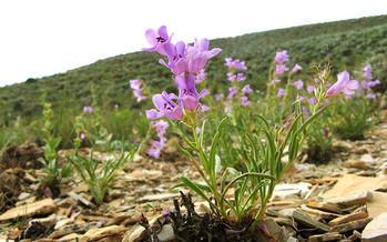 PHOTO: Advocates say the federal government should do more to protect two wildflowers that are nearly extinct. Known as beardtongues, they grow in Utah and Colorado. Photo courtesy U.S. Fish and Wildlife Service.