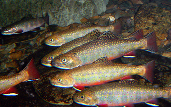 PHOTO: A new report finds species such as the brook trout in Ohio face an uncertain future due to the impacts of climate change. Photo credit: U.S. Fish and Wildlife Service.