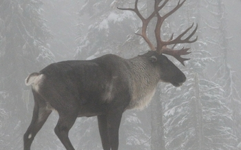 PHOTO: The only herd of woodland caribou in the U.S., Idaho's Selkirk herd, is down to 18 animals. Photo credit: Steve Forrest, U.S. Fish and Wildlife Service.