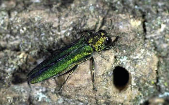 PHOTO: More than 140 million ash trees cover the state of Indiana, and experts say this is the peak season for potential threats to their survival by the destructive emerald ash borer. Photo credit: D. Herms, The Ohio State University.