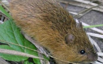 PHOTO: Conservation groups are urging government agencies to work quickly to protect the habitat of the New Mexico meadow jumping mouse, which is now officially an endangered species. Photo courtesy of the U.S. Fish and Wildlife Service.