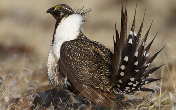 PHOTO: The possible listing of greater sage-grouse is expected to be one of the tough topics at the Western Governors' Association meeting this week. Photo credit: U.S. Fish and Wildlife Service