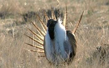 PHOTO: The possible listing of greater sage-grouse is expected to be one of the tough topics at the Western Governors' Association meeting this week. CREDIT: Bureau of Land Management